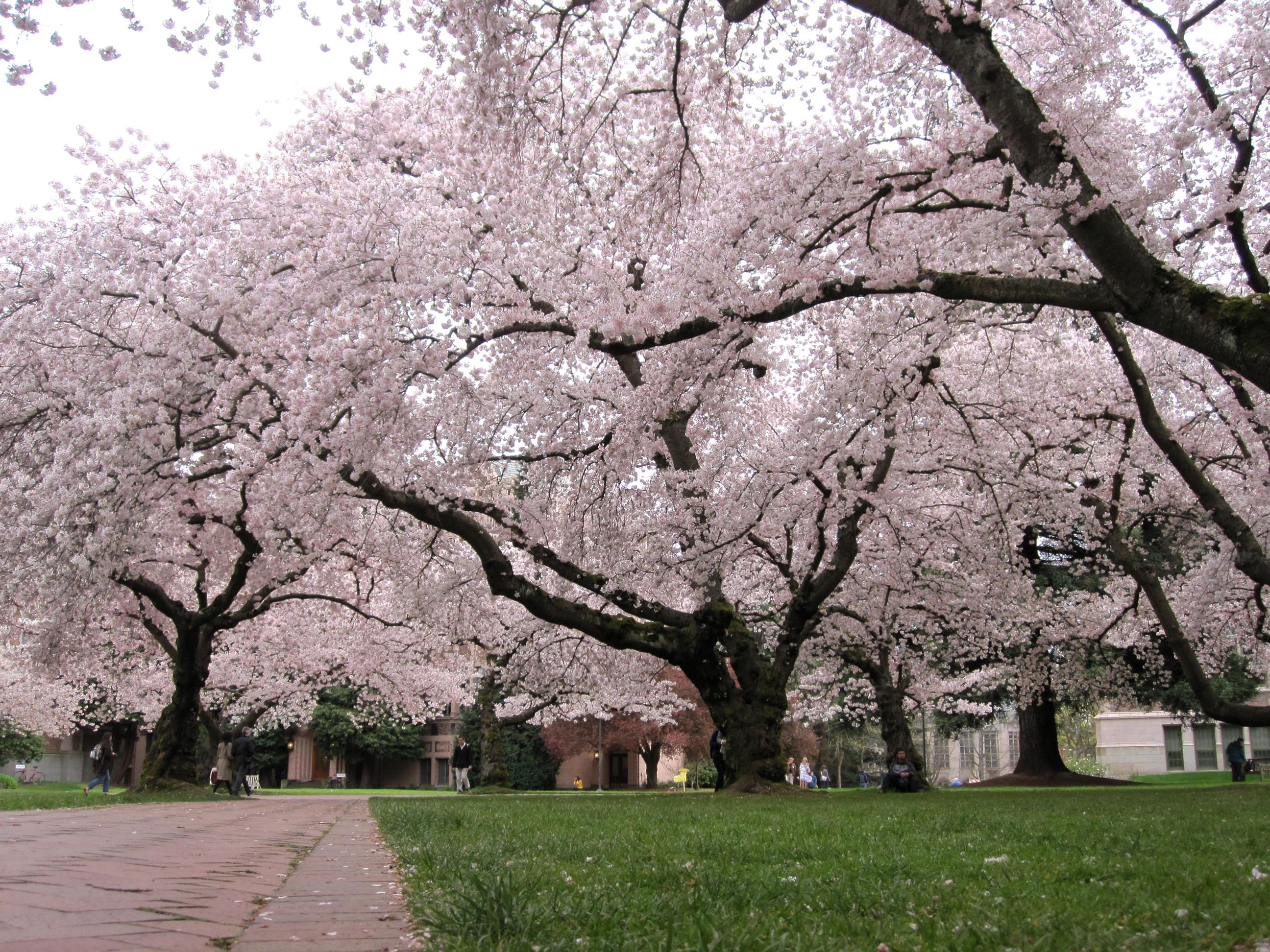 china landscape cherry trees - photo #31